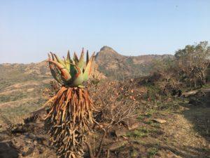Wilde Aloe während der Trockenzeit nach einem Buschbrand