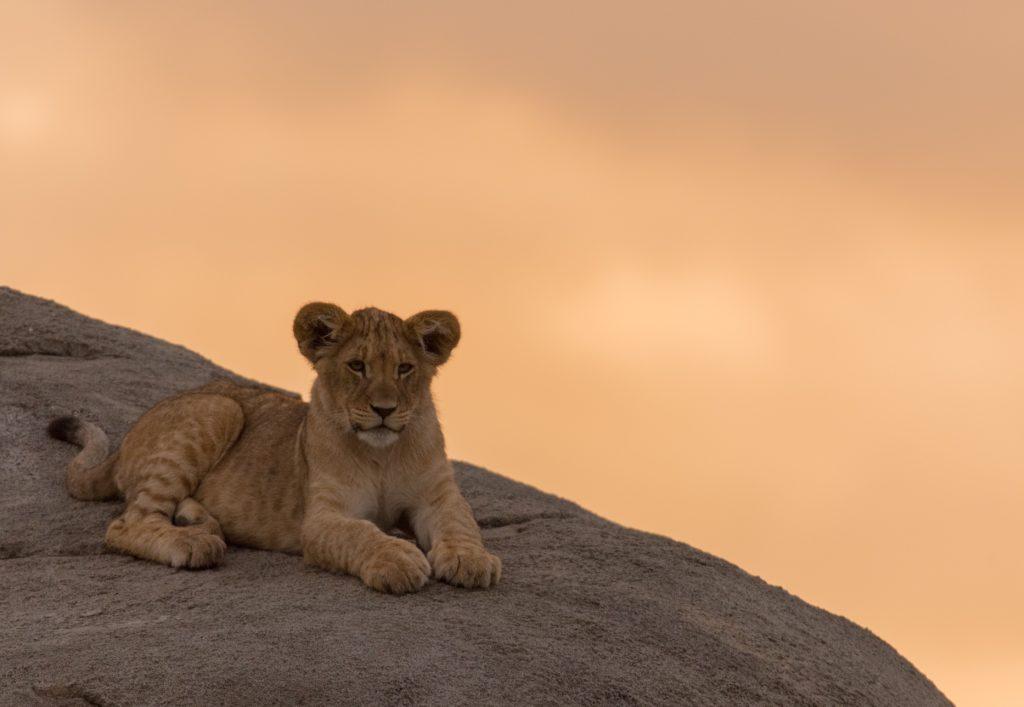 Löwen Junges