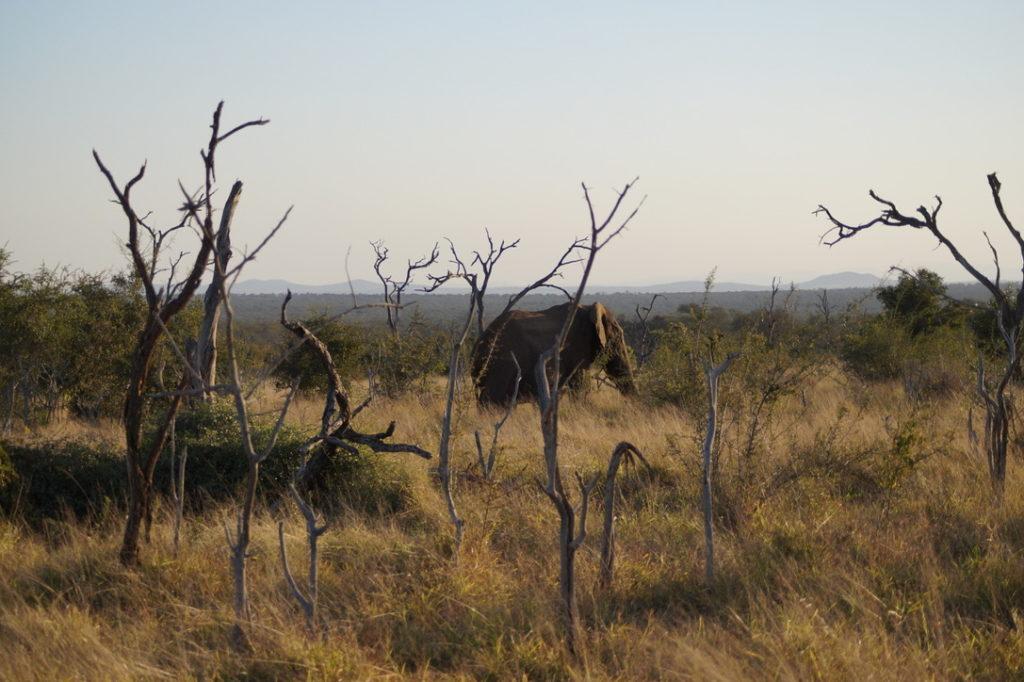 Elefant Hlane