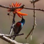 Korallenbaum und Sunbird