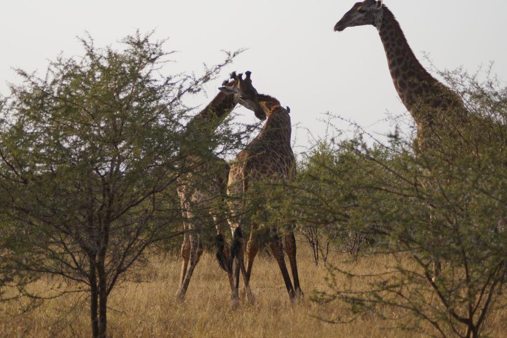kämpfende Giraffen im Mkhaya Game Reserve, im Südosten von Eswatini
