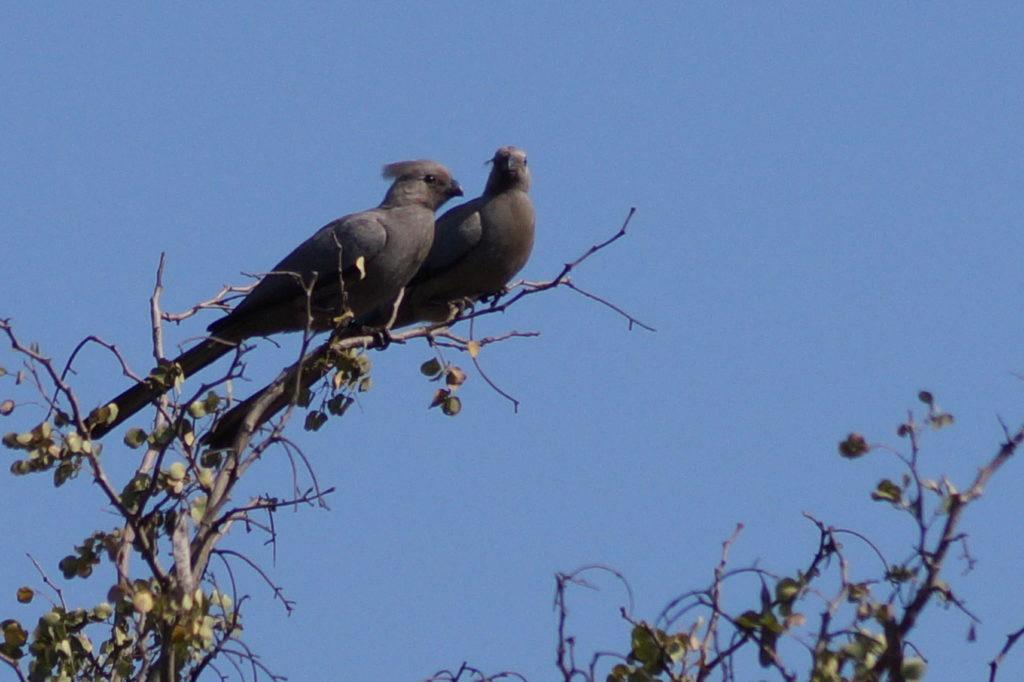 Graulärm Vogel, gesehen beim Bird Watching im Kamsholo Eswatini