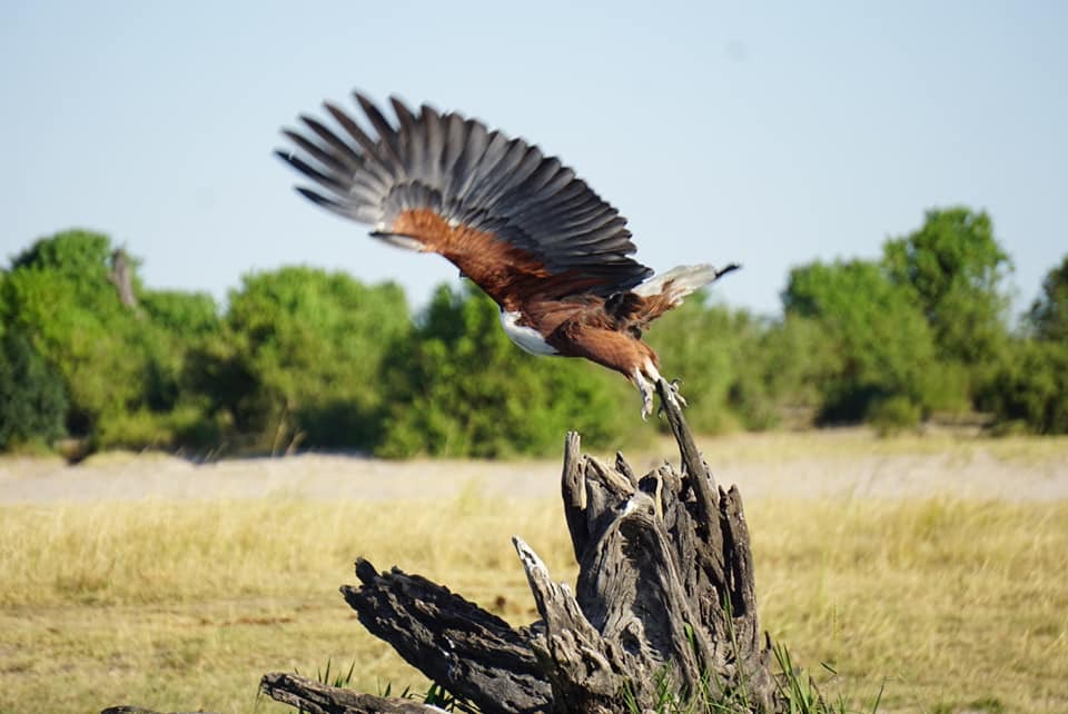 Fish Eagle Take Off